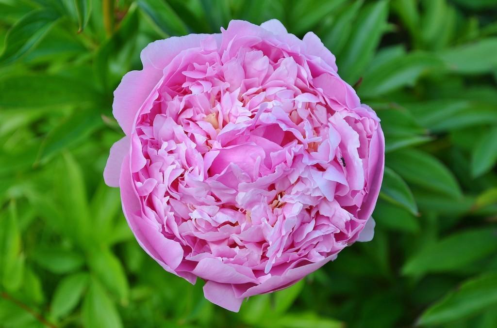 La rose de Damas, tonifiante et rafraîchissante