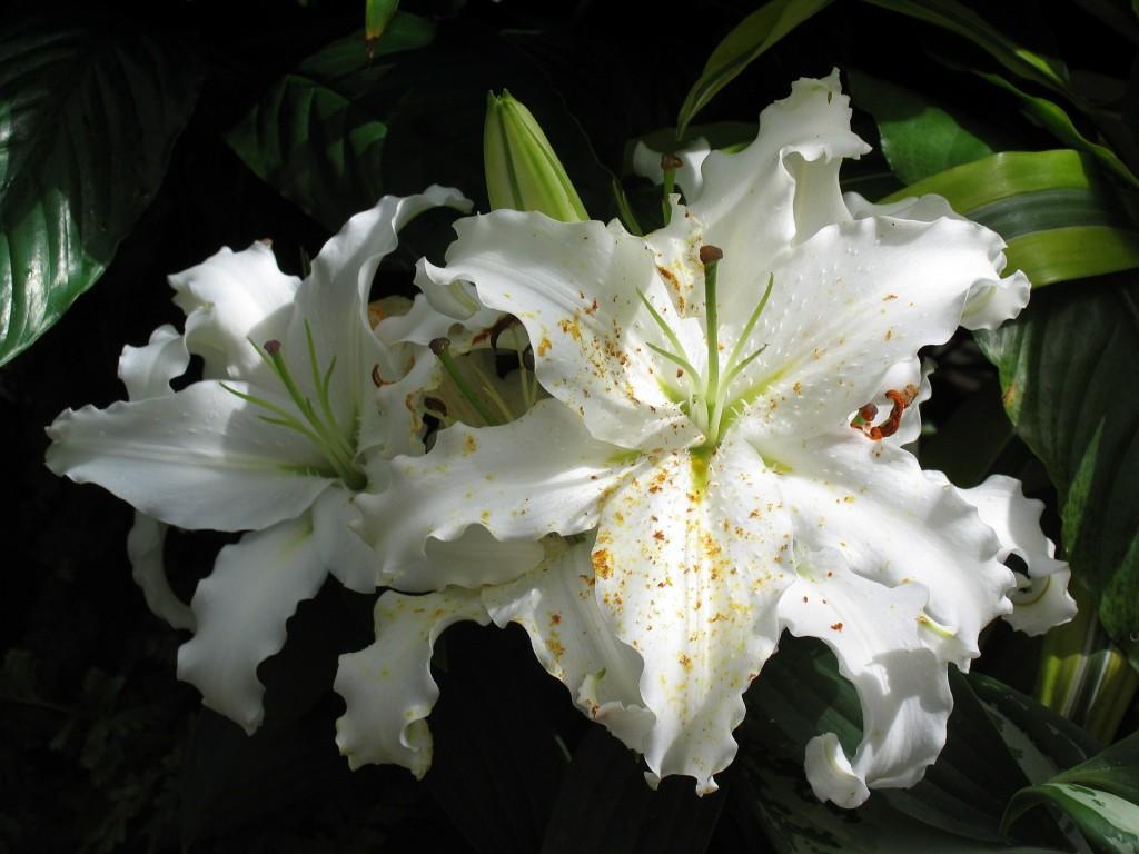 L'extrait de fleur de lys blanc: un éclaircissant de peau naturel