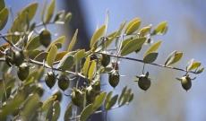 Le jojoba, un ingrédient incontournable dans la cosmétique bio